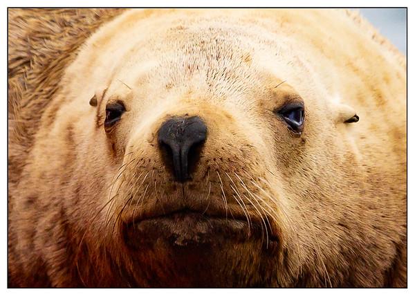 Sea Lion, Sitka, Alaska