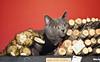 Holiday Pet Portraits-315