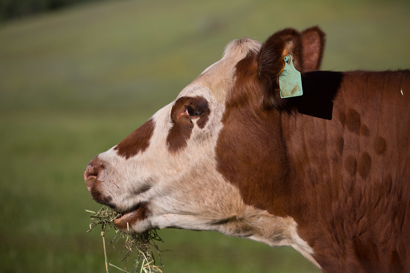 (c)KimSayre-Cows-026