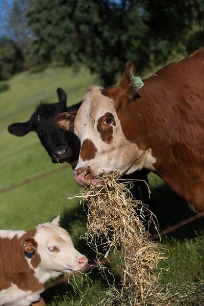 (c)KimSayre-Cows-017