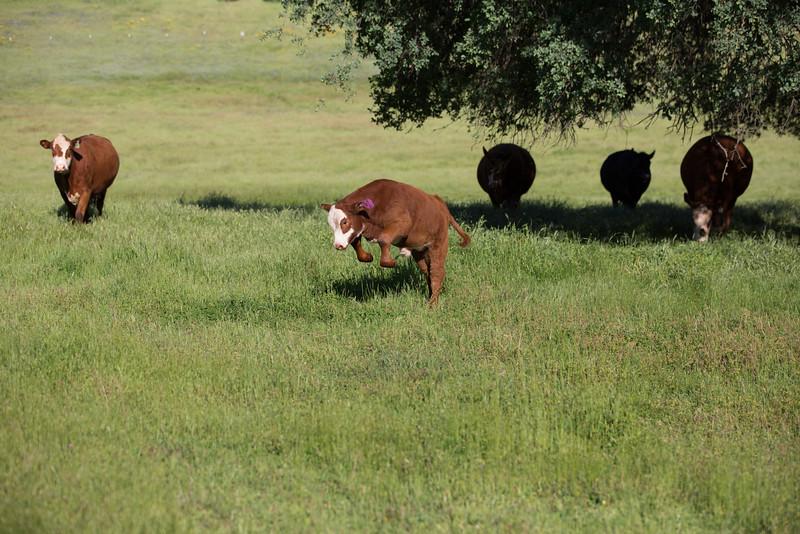 (c)KimSayre-Cows-009