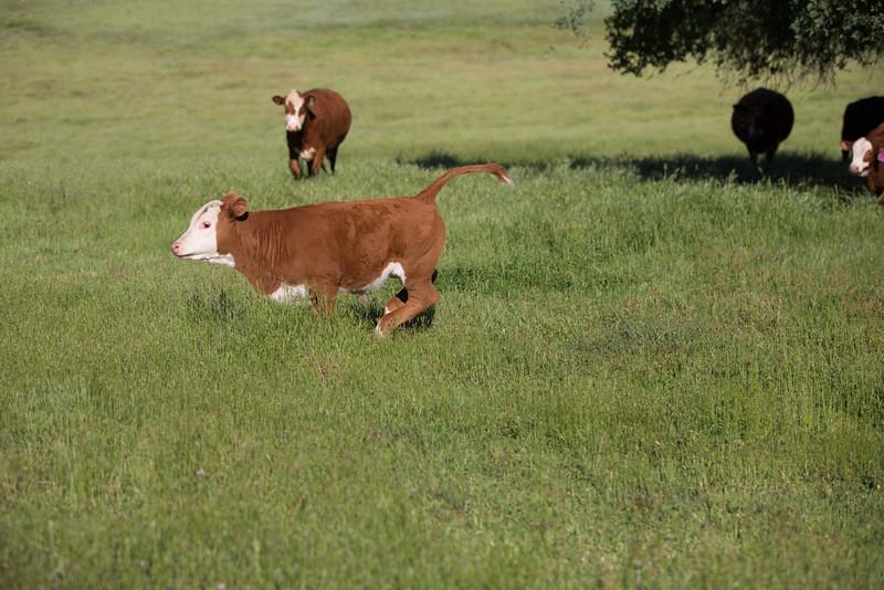 (c)KimSayre-Cows-008