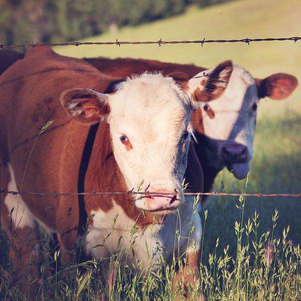 (c)KimSayre-Cows-067