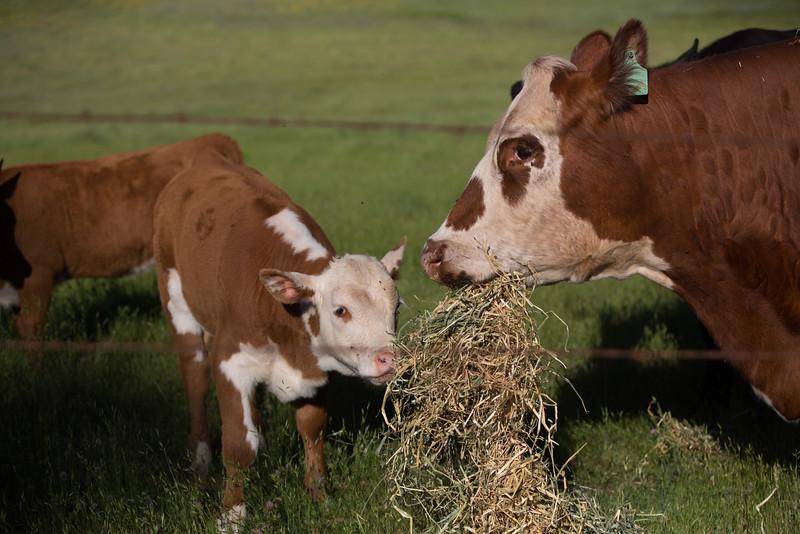 (c)KimSayre-Cows-015