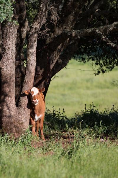 (c)KimSayre-Cows-004-2