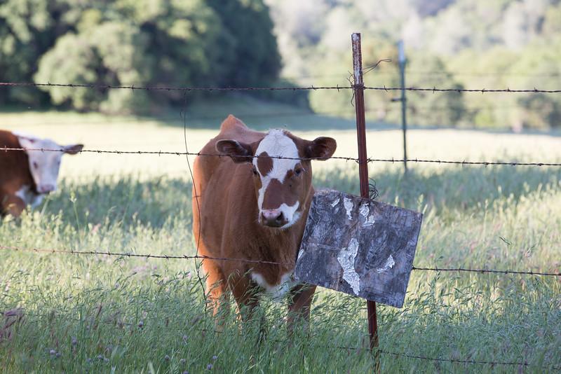 (c)KimSayre-Cows-060