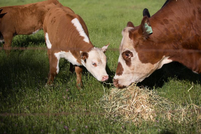 (c)KimSayre-Cows-014