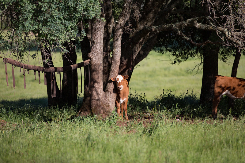 (c)KimSayre-Cows-004