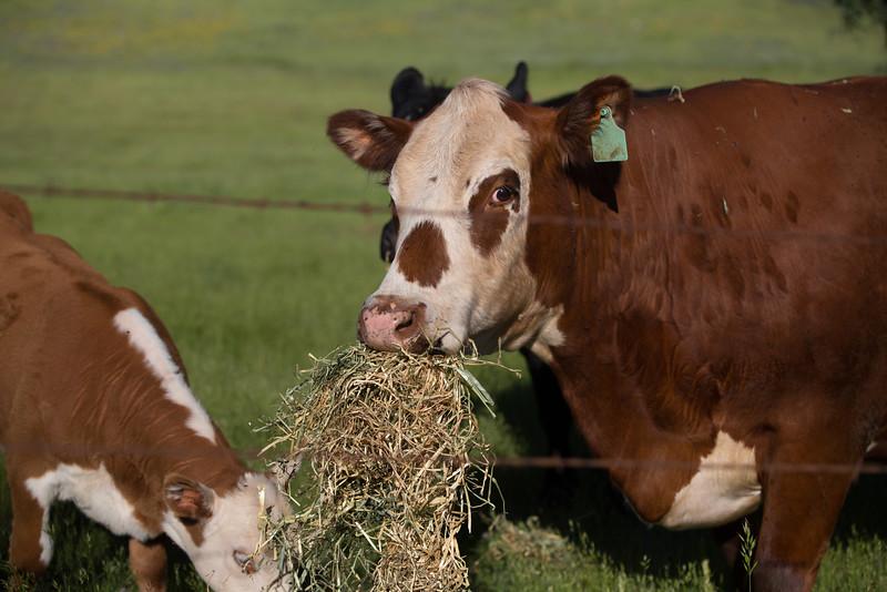 (c)KimSayre-Cows-016