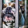 Bulldog_2O7A0984