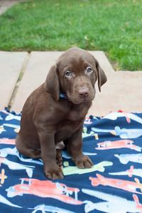 JVP-11-25-2016 Godiva Labradors-8