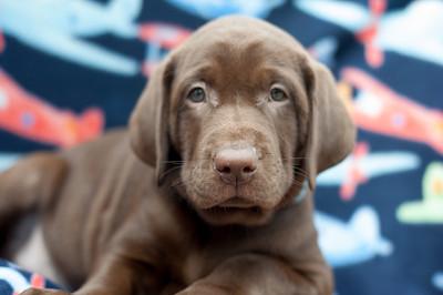 Godiva Labradors - Blue