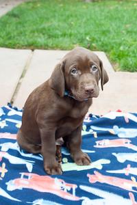 JVP-11-25-2016 Godiva Labradors-9
