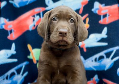 Godiva Labradors - Griffen