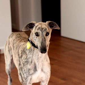 Greyhound Banjo