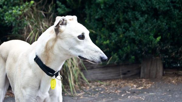 Greyhounds - Casper and River