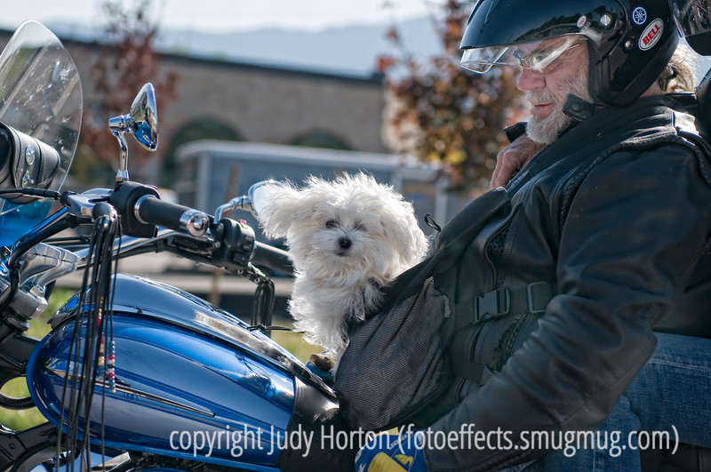 I looked out my window as we stopped for a light and noticed that a little dog was one of the passengers on the motorcycle next to us.  When the owner of the dog saw I was trying to take its picture, he leaned back and got the dog to look my way.  The wind was blowing; hence, the flyaway ears.