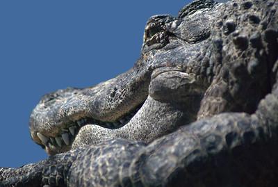 Alligator sunning himself with watchful eye