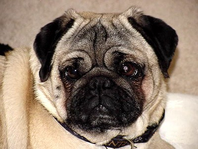 Rocky  The greatest little Pug in the world.  Gone, but not forgotten.