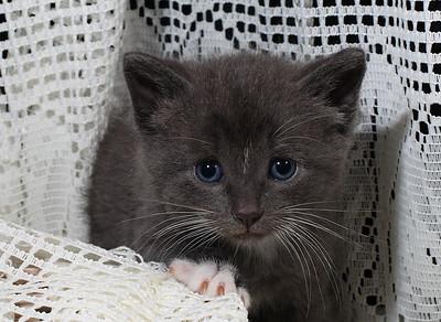 IMG#9991 Grey Kitten