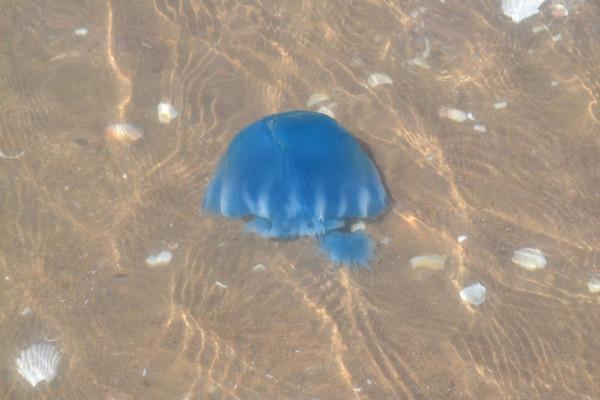 Jelly Fish from Kino Bay