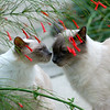The Florida Balinese cat is a rare sighting, for sure!