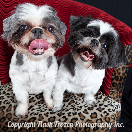 Shih-tsu, Pet Photography, Dog Photography, Holiday Portraits