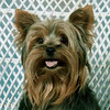 This was my Yorkie of 13 years, Mugsy.  Taken with a film camera in 1995.