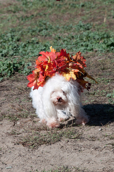 "Muffin as ""Miss Autumn"""