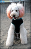 Japanese Pink-eared Poodle