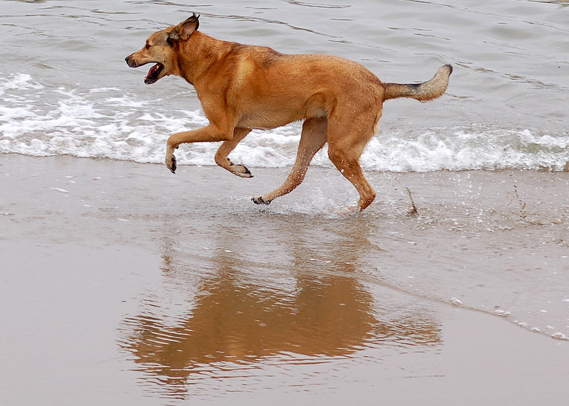 A dog enjoying a run along Crissy Field in San Francisco, California