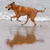 A dog enjoying a run along Crissy Field in San Francisco, California