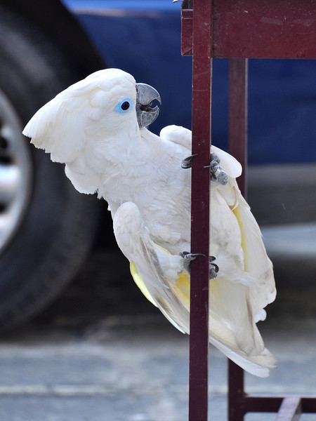 cockatoo. Rhodes 477, Greece.