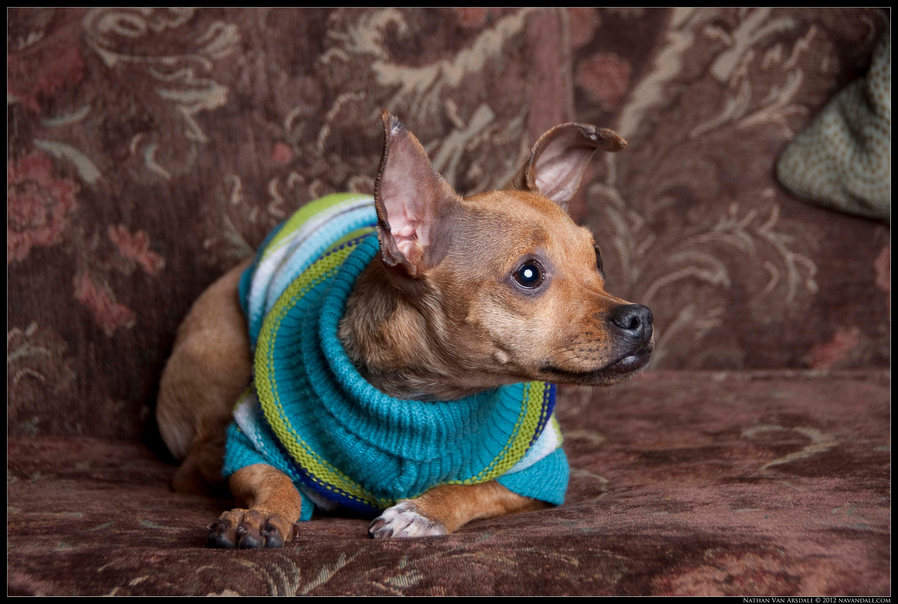 Adopt Me!  <br /> <br /> Pica is a sweet little Chihuahua under the foster care of the Las Vegas Valley Humane Society. She's timid at first... which is a quality that has prevented her from being adopted thus far... but she warms up to you in no time, and love's the company of other dogs. She is in need of a loving, permanent home. To adopt Pica, call the LVVHS Hotline at 702-434-2009.