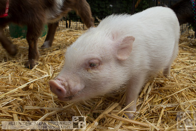 Animal portraiture. Wilbur, a Pygmy pig