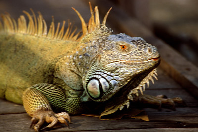 An Iguana Close Up