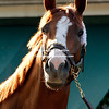 2014  winner California Chrome trained by Art Sherman