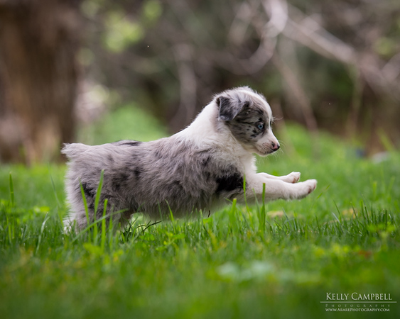 Ray's Puppies-Dogs-133