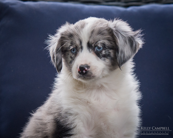 Ray's Puppies-Dogs-106