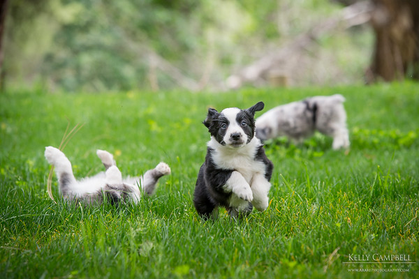 Ray's Puppies-Dogs-135