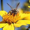 LIttle Bee hopping from flower to flower...