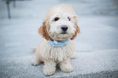 Shogun the Pup