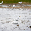 An egret standing in a marsh with more egrets in the background.