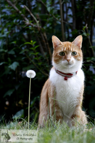 A domestic cat sitting next to a dandelion outside in the yard.