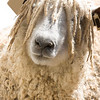Woolly sheep face.  This cute farm sheep has long wool hanging in his face.