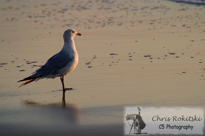 A seagull standing on the beach watching the sunrise.