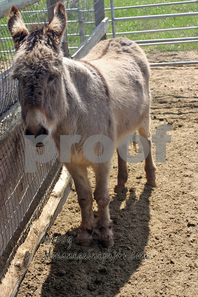 "At the time I took this photo, spring shedding had just started for the donks, so she's still very woolly.  <br /> <br /> I don't think she'd had much, if any, training.  She is very sweet and loves to be scratched, but she's very big and very pushy, especially with the boy mini donks - they do not get along well!  <br /> <br /> Oh, did I mention?  She is a full size standard - quite a bit bigger than the minis with corresponding strength and sense of entitlement!    <br /> <br /> She is very bonded with Sara, the mini jenny, and those two together exemplify the song ""girls just wanna have fun"""