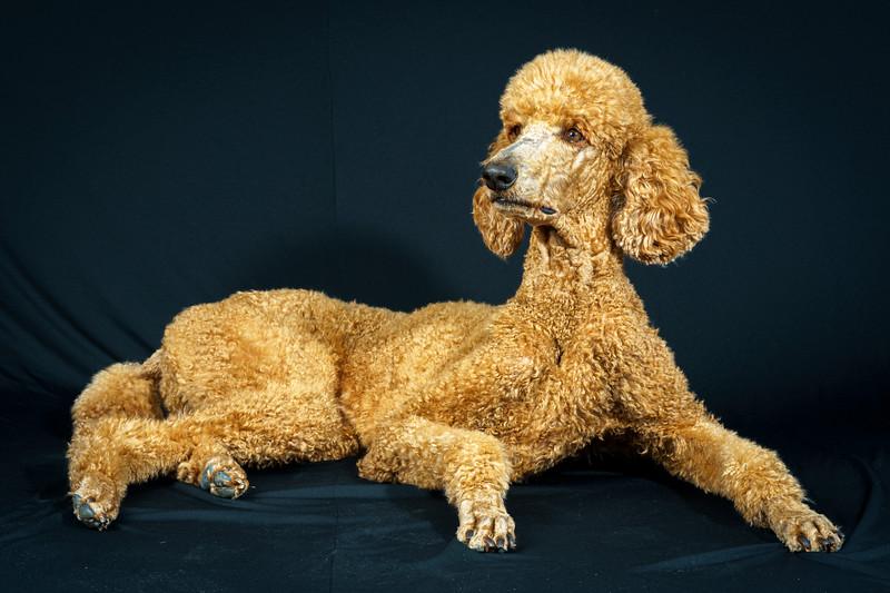 Brick, Standard Poodle Portrait