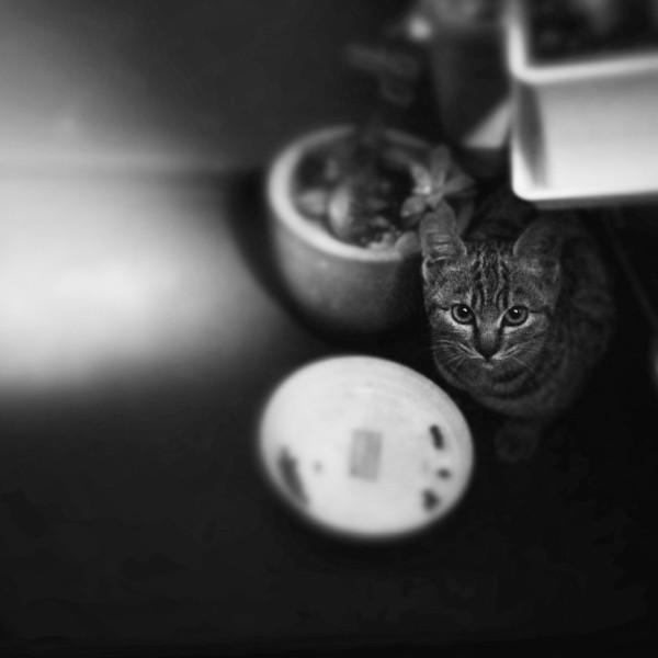 File No.71<br /> <br /> そして、うすちゃん。<br /> <br /> お昼近く、窓を開けると珍しくベランダにハナコ。タオがジャスコに出かけてしまってから、すっかり猫寂しい我が家の屋根&ベランダ。ハナコもほとんどこちらに顔を出すことなんてなくなったのにね。あら、いつも一緒の子ニャンのうすちゃんはどうしたの?<br /> <br /> 夕方。なんとなく、そう、こういう「なんとなく」はなかなか当たっている、ベランダの窓を開けた。あらあま、うすちゃんじゃないの。ママがさっき探してたよ。<br /> <br /> うすちゃん、おっかなびっくり。初めてチョット遊んでくれた。5匹いた子ニャンのうちで1匹だけ薄い色合いで、なんだかウズラとか雷鳥みたいな子猫だね、なんて、向こうからトントン、ハナコが屋根を通りすがりで「遊んでもろとき。ココ、大丈夫やし。でもちゃんと帰ってくるんやで」「わかた」そんな会話が鼻先でかわされて、うすちゃん、も少しベランダで遊んでいった。<br /> <br /> なんだかドキドキ。この展開。いーねっ。そうそう、これは記念すべきうすちゃん初ショット。警戒心が強くて、人懐っこかったいっちゃんとは全然ちがうタイプなのです。