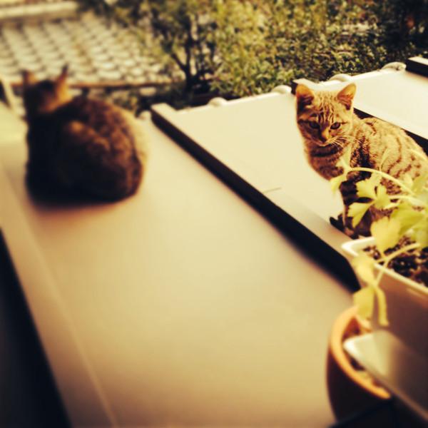 File No.79<br /> <br /> 久しぶりにハナを見た。数軒先のおばあさんの置きごはんを食べていた。コロコロ、元気そうだね。<br /> <br /> おばあさんはえらいなあ。この界隈でただ一人、ノラ猫たちのためにごはんを置いてくれている人だ。そっと、玄関先の植木鉢のうしろにかくして。<br /> <br /> うすちゃんはあれっきりで、どうしているのだろう。隣のおばさんに餌をやるな!とネチネチ京都らしいやりかたで言われて、挫折した自分。心が痛い。<br /> <br /> もう沈丁花も終わりかな。春の雨の日。